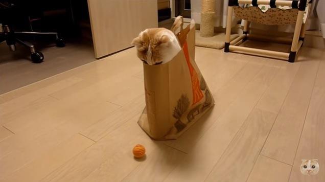 ボールを見つめる猫