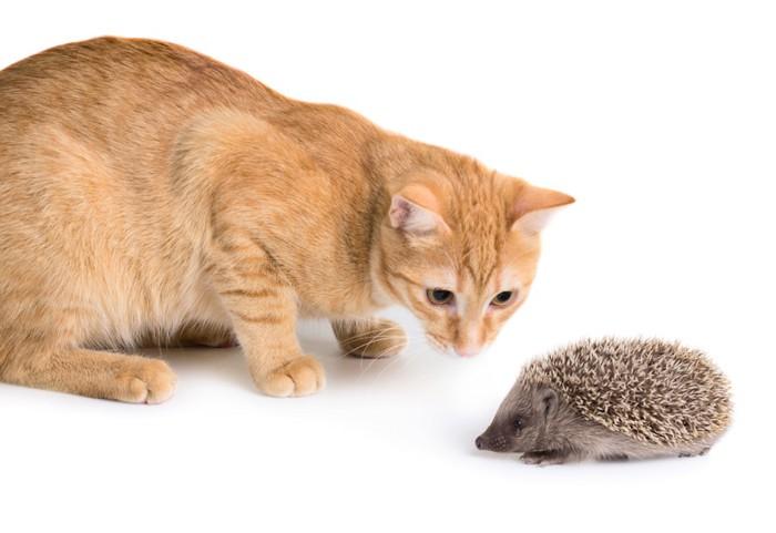 ハリネズミを見つめる猫