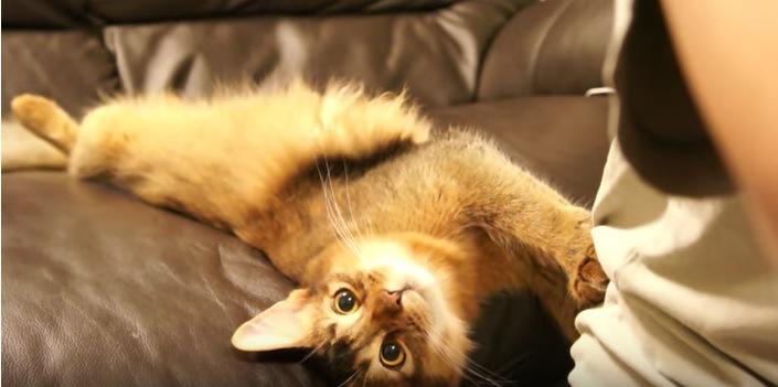 ソファーでくつろいでる猫
