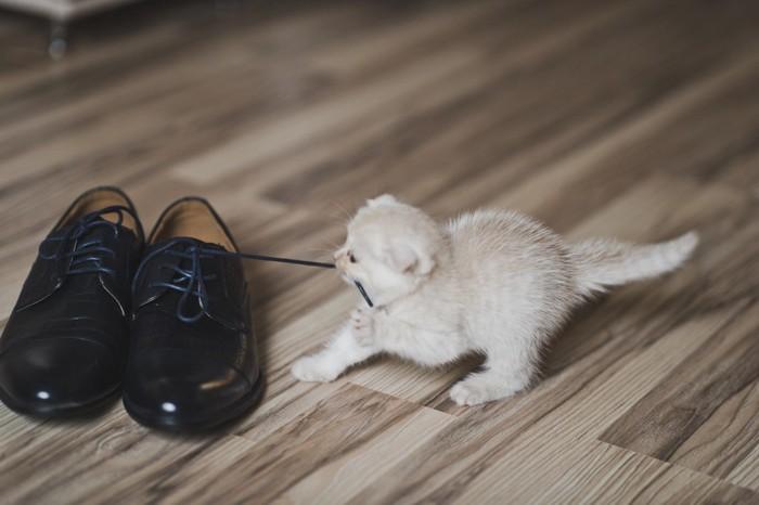 靴紐を引っ張っている子猫