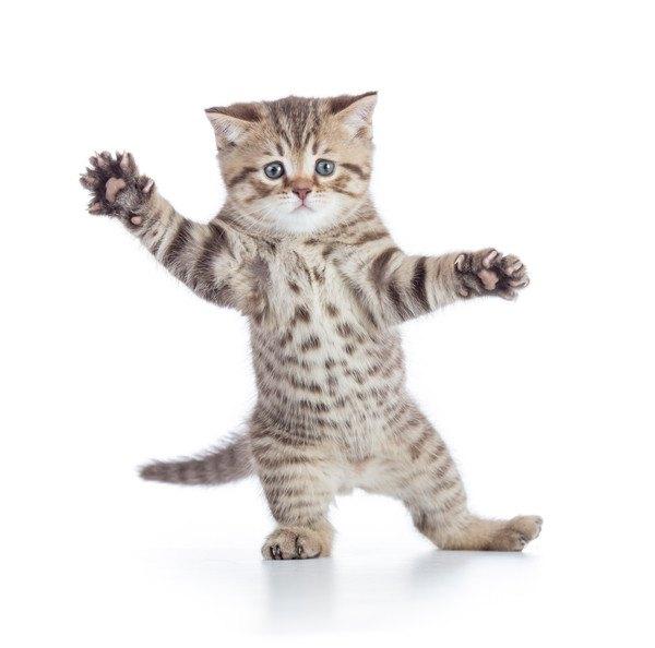 立って手を挙げる子猫
