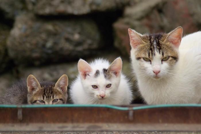 警戒してこちらを見る母猫と子猫