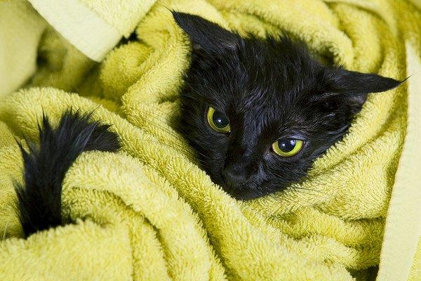 乾かされる黒猫