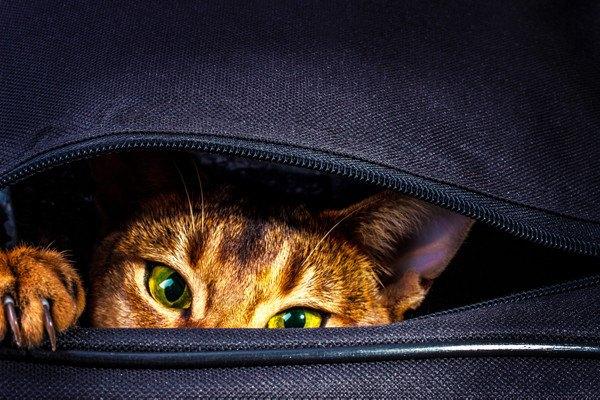 カバンの中から覗く猫