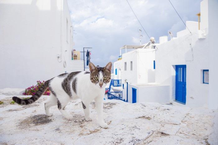 ギリシャの村にいるエーゲキャット