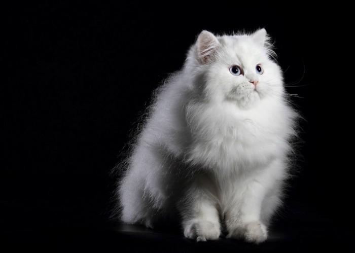 上を見上げるペルシャ猫