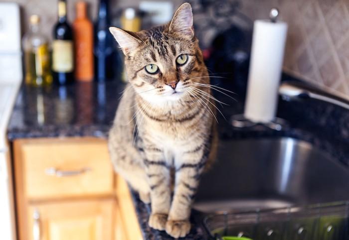 キッチンの猫