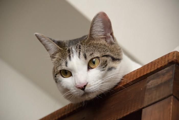 戸棚の上から下を見る猫