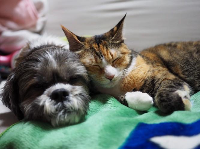 #犬と寝てる三毛猫#