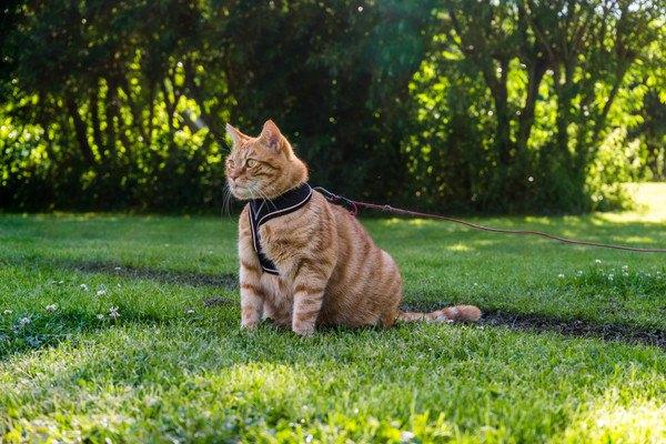 リードハーネスをつけた猫と散歩