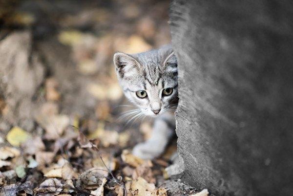 物陰から顔を出す子猫