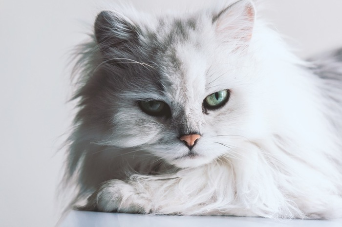 白い長毛の猫