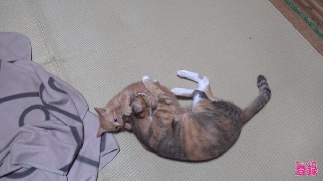 母猫の耳をかじる子猫