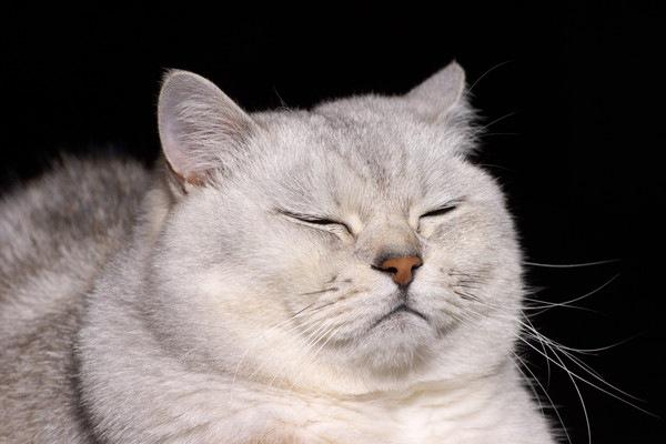 黒い背景のつらそうな白猫