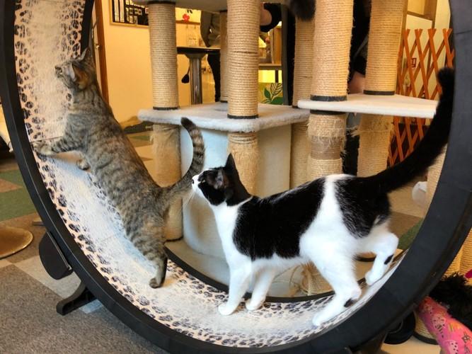神戸の猫カフェnyannyの猫