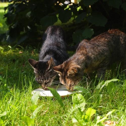 猫の餌付け