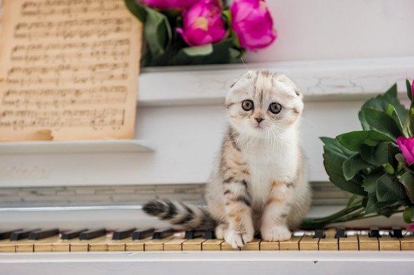 ピアノに座るスコの子猫