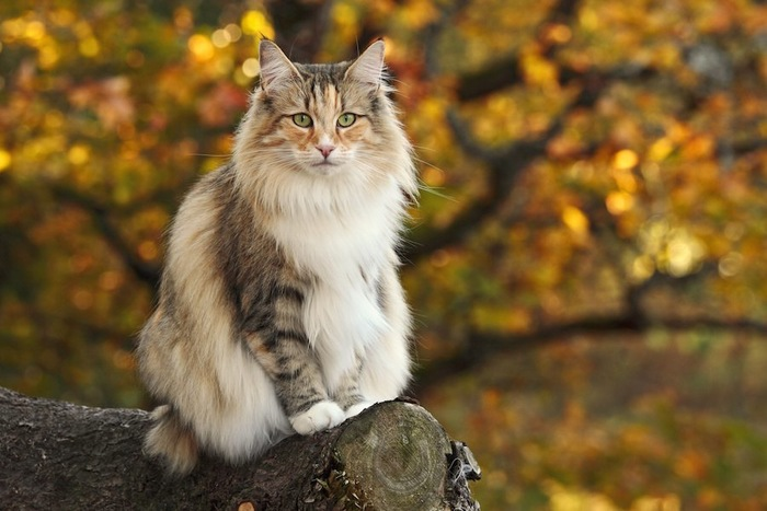 木の上に座るノルウェージャンフォレストキャット