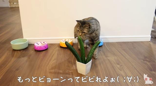 キュウリのニオイを嗅ぐ猫