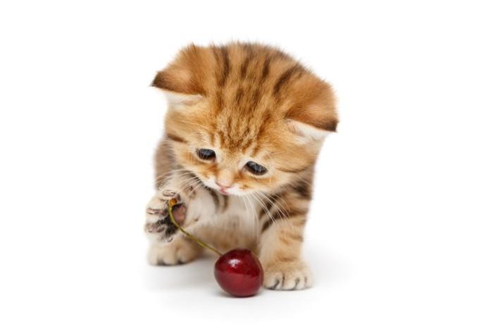 さくらんぼをちょいちょいする猫