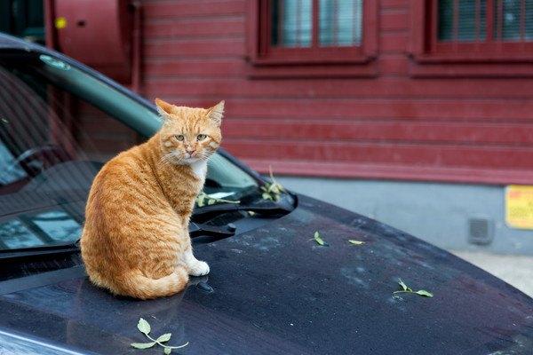 車のボンネットにのる猫と足跡