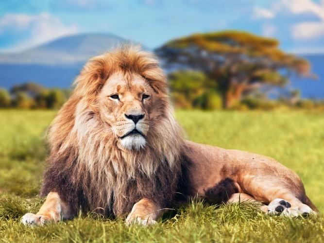 雄々しく座るライオン