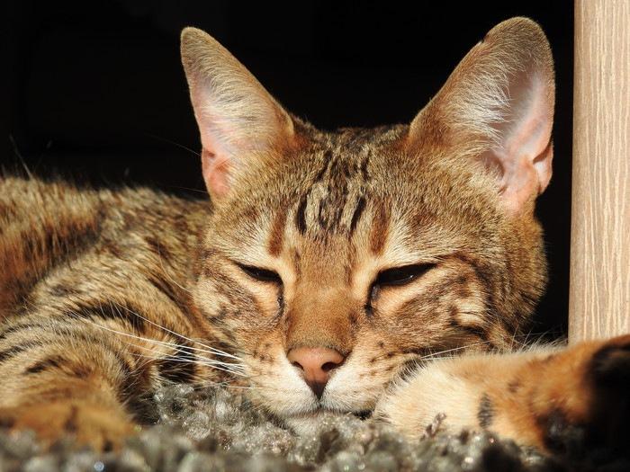 眠るベンガル
