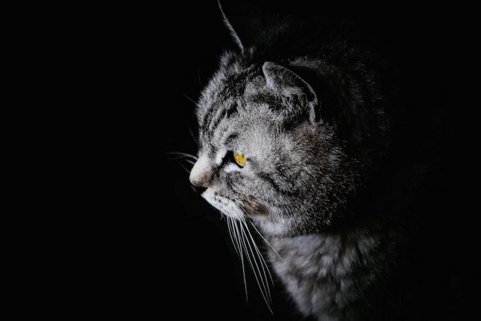 暗闇の中にいる猫の横顔