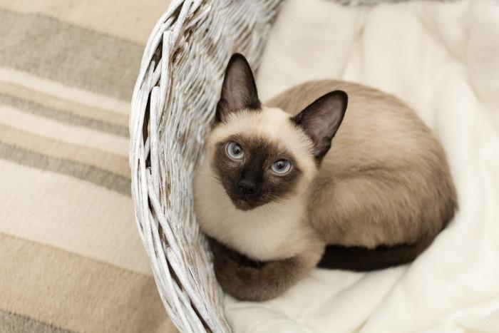 バスケットの中にいるシャム猫