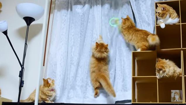 カーテンにじゃれつく猫たち