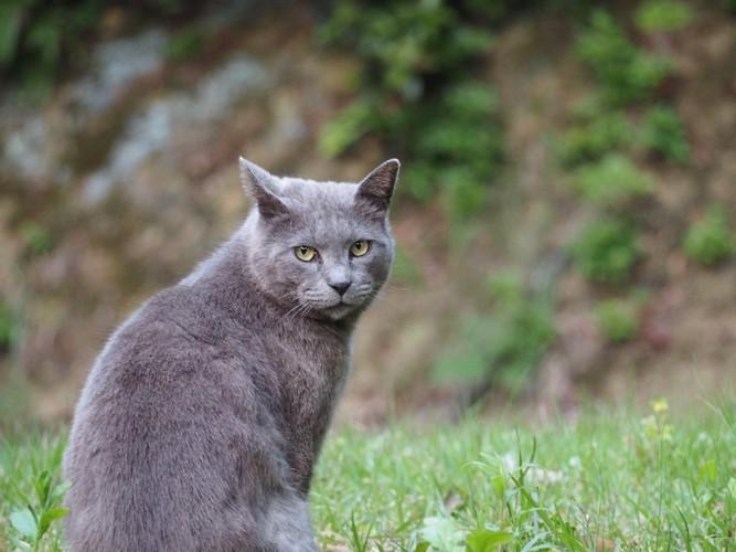 こちらを振り返るグレーの野良猫