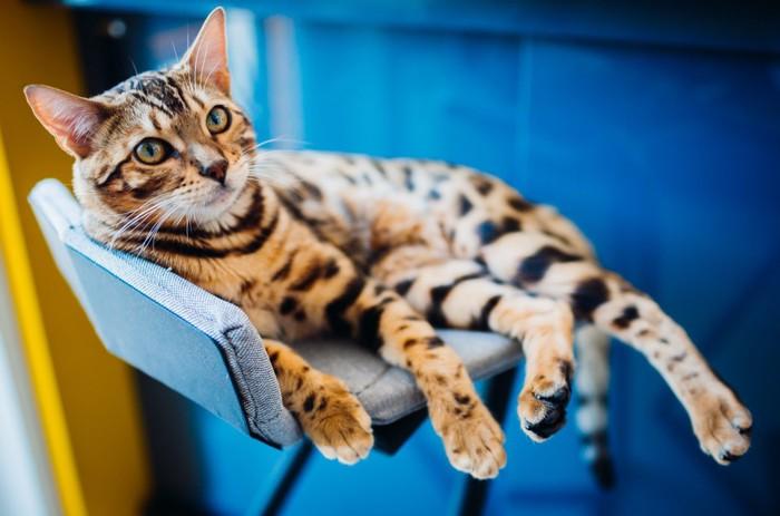 椅子に座るベンガル