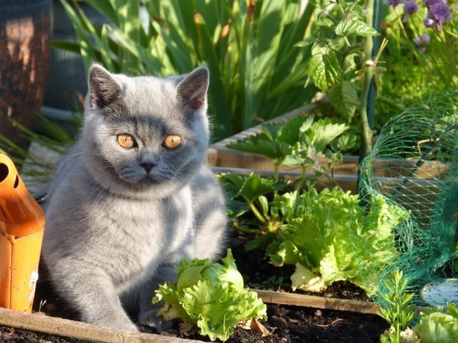 野菜畑にいる猫