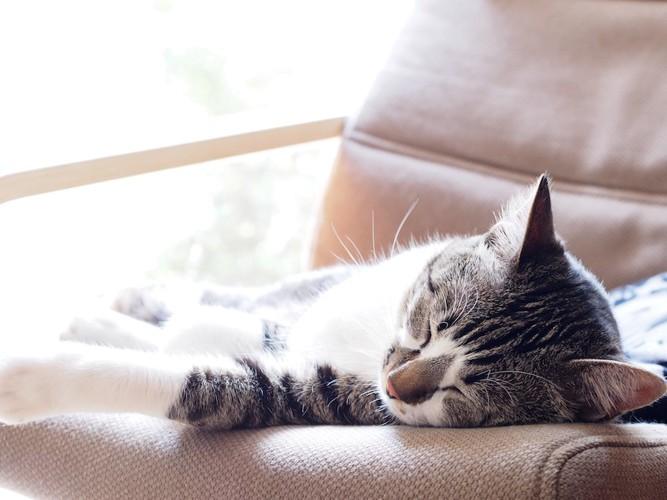 ソファーで昼寝をする猫