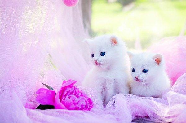 ピンクの背景と白猫の子猫