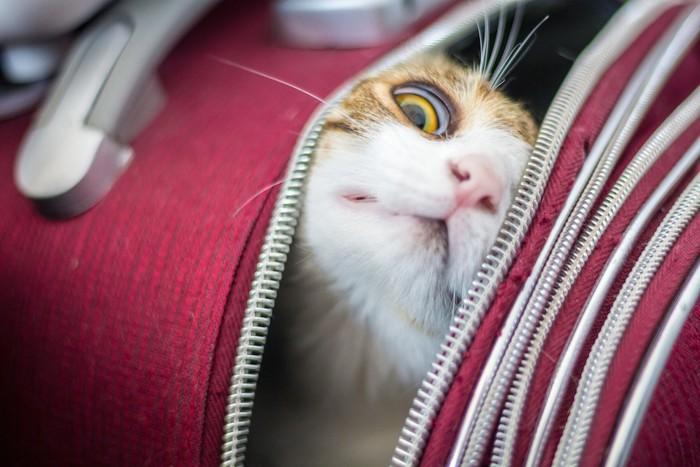 キャリーから顔を出そうとする猫