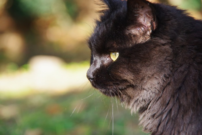 黒猫の横顔の写真