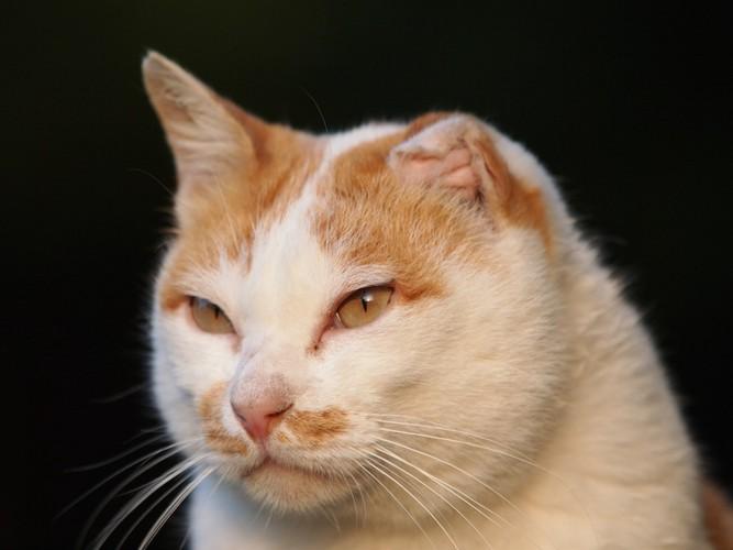 真剣な表情の耳が折れた猫