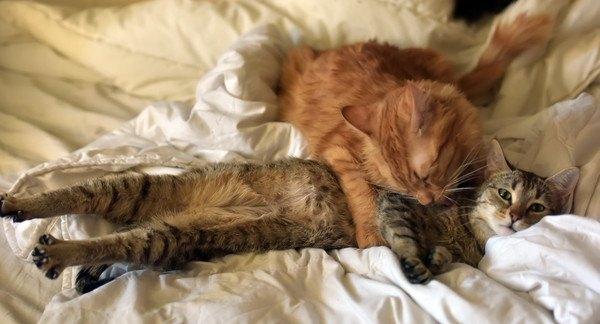 布団の上でくつろぐ二匹の猫