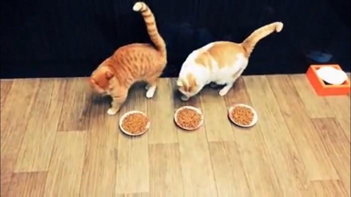 3つのご飯と選ぶ猫