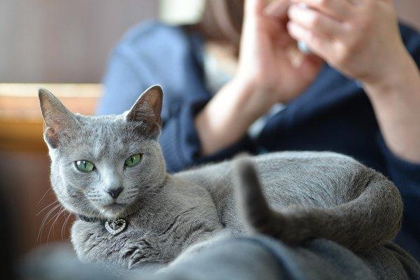 飼い主の膝の上で座る猫