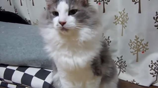 カーテンの前に座る猫