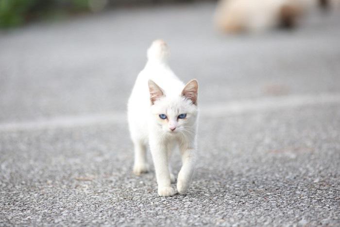 道を歩く白い猫