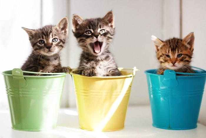 バケツに入る三匹の子猫