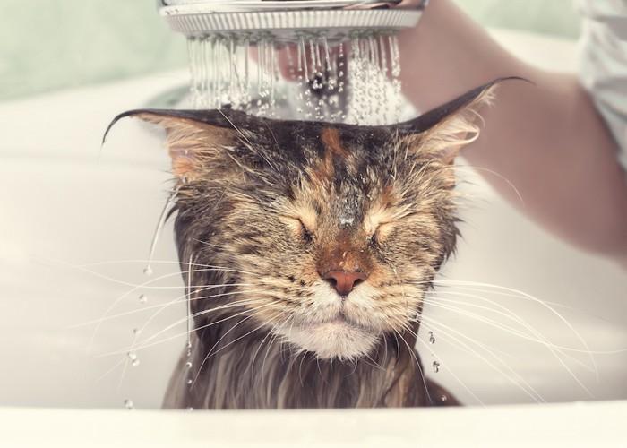 頭からシャワーを浴びる猫