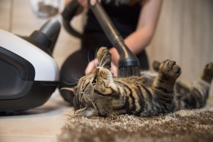 掃除機で毛を吸われている猫