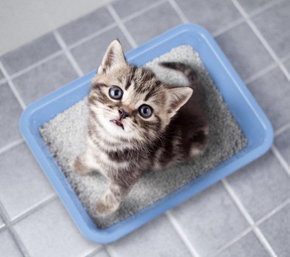 尿検査の最中の猫
