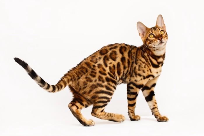 ベンガル猫全体図