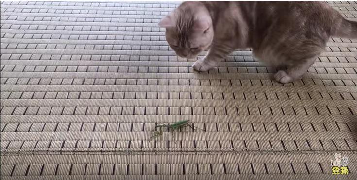 カマキリを見つめる猫