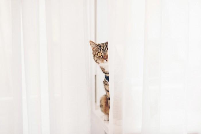 カーテンの裏から顔を出す猫